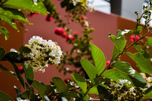 Closeup Shot Of Blooming Hackberry Branches With White Flowers