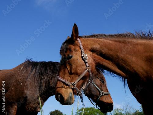 chevaux arabes Fototapete