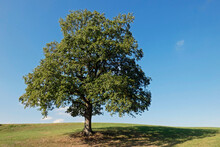 The Old Oak Tree In Late Summe...