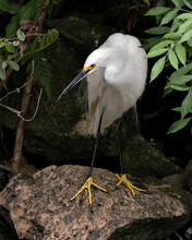 Snowy Egret Stock Photos. Image. Portrait. Picture. Beautiful White Fluffy Feathers Plumage. Standing On Moss Rock. Foliage Background. White Colour.