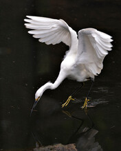 Snowy Egret Stock Photos.  Close-up Profile View In The Water With Spread Wings With A Water Background, Displaying Spread Wings, Fluffy Plumage, In Its Environment And Habitat. Image. Picture.