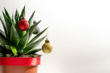 Christmas Succulent With Colored Balls On White Background