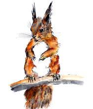 Ginger Squirrel On A Branch, W...
