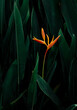 canvas print picture - exotic flower on dark green tropical foliage nature background.