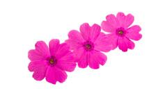 Beautiful Pink Verbena Flower ...