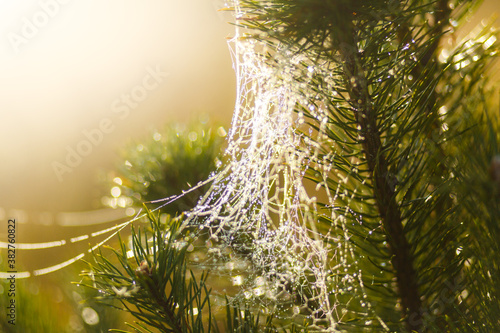 Fotomural Cobweb woven by a spider in the spruce branches