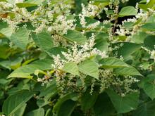 (Reynoutria Japonica) Renouée Du Japon à Tiges Rouges Garnies De Grandes Feuilles Papilleuses Et Fleurs Blanches En Grappes Dressées