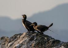 Cormorant Pooping, Norway