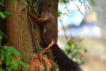 Eurasian Red Squirrel Lurking ...
