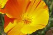 Gelbe Blüten des Kalifornischen Mohnes, Eschscholzia californica