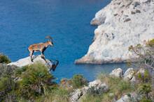 IBERIAN IBEX - CABRA MONTES O IBICE IBERICO (Capra Pyrenaica), Cliffs Of Maro Cerro Gordo - Acantilados De Maro Cerro Gordo, Granada, Andalusia, Spain, Europe