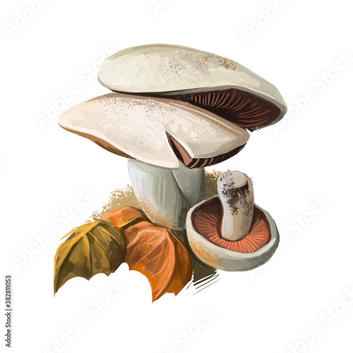 Photo Agaricus campestris widely eaten gilled button mushroom Agaricus bisporus