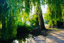 Willow Tree And Pond In The Park