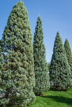 Close-up Of Trimmed Arizona Cypress (Cupressus Arizonica) 'Blue Ice' In City Park Krasnodar. Public Landscape 'Galitsky Park' For Relaxation And Walking In Sunny Autumn September 2020