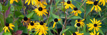Field Of Yellow Flowers Of Orange Coneflower Also Called Rudbeckia, Perennial Black-eyed Susan.