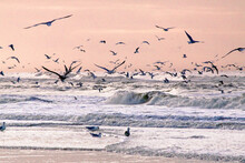 Sunset On A Winter Beach With Large Numbers Of Seagulls Having A Feast Meal Of Shells And Shellfish