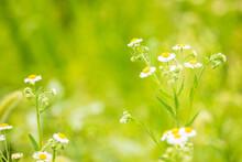 Beautiful Daisy Fleabane Flowers In Green Meadows.