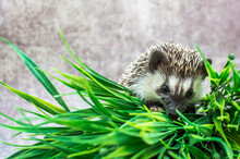 African Hedgehog On A Gray Bac...