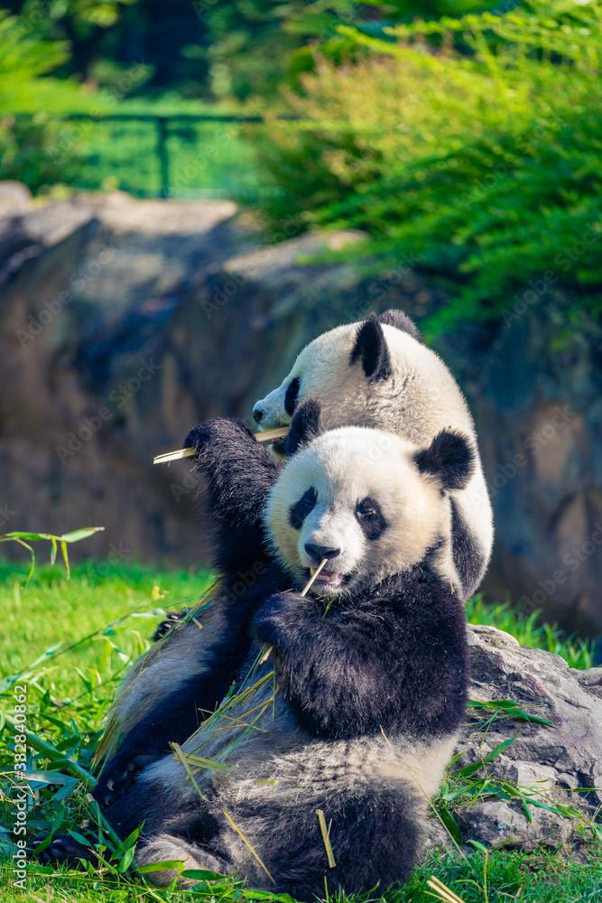 Fototapeta Mother Panda Yuan Yuan and her baby Panda Yuan Meng are Snuggling and eating bamboo in the morning, zoo beauval, France