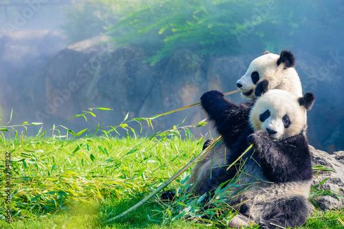 Fotografía Mother Panda Yuan Yuan and her baby Panda Yuan Meng are Snuggling and eating bam