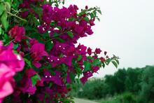 Pink Bugambilia (aka Bougainvi...
