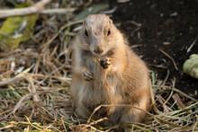 Prairie Dog Eats Dried Stems O...