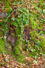 An Old Tree Stump In The Forest Entwined With Curly Ivy With A Shallow Depth Of Field. Fall