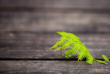 Green Fern Leaf On Wooden Back...