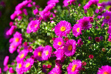 Autumn Flowers Of Aster Septem...