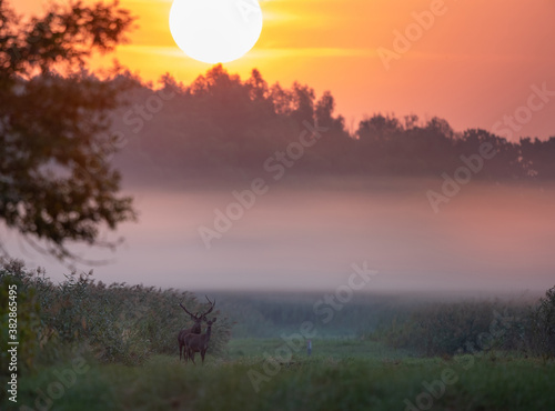 Red deer and hind standing on meadow at sunrise Fototapet