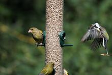 A Greenfinch On A Bird Feeder