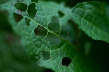 liść zielony  podziurawiony makro