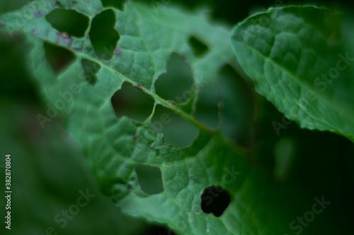 Obraz liść zielony  podziurawiony makro - fototapety do salonu