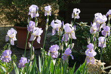 Close-up Of A Group Of Beautiful Open Purple Blossoms Of Iris / Flag Flowers
