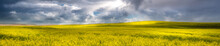Panorama Of A Canola Field In ...