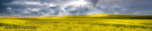 Fototapeta Panorama of a canola field in The Palouse, WA obraz