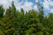 Young Growing Spruce Blossom O...