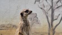 Portrait Of A Meerkat Guarding Its Young.