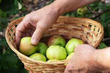 A Man's Hand Puts A Ripe Apple...