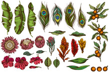 Vector Set Of Hand Drawn Colored Banana Palm Leaves, Hibiscus, Solanum, Bromeliad, Peacock Feathers, Protea