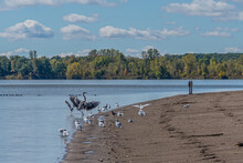 Blue Heron Flapping Wings On Beach Of Lake Surrounded By Flock Of Sea Gulls