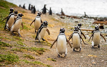Magellanic Penguin Colony At M...