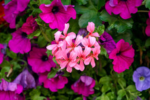 Mixed Petunia Flowers As Background Growing In Summer Garden