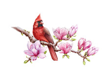 Red Cardinal Bird With Magnolia Flowers Watercolor Illustration. Hand Drawn Close Up Beautiful Bird With Lush Magnolia Spring Blossoms. Bright Cardinal On A Branch Isolated On White Background