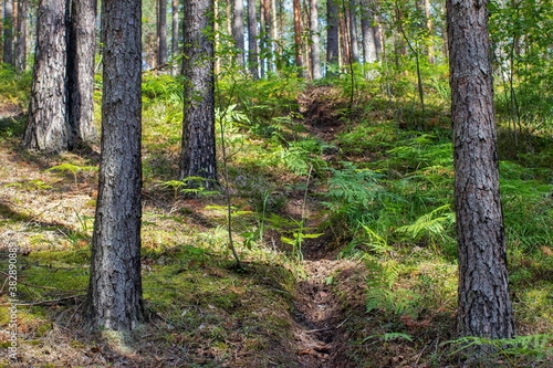 Summer landscape sketches from a pine forest © Никита Федонников