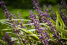 Lilac Purple Flowers Of Variegated Liriope Or Lilyturf In The Sunlight