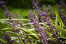 Lilac Purple Flowers Of Varieg...