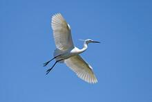 Seidenreiher (Egretta Garzetta) - Little Egret