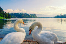 Swan Couple On The Lake Bled I...