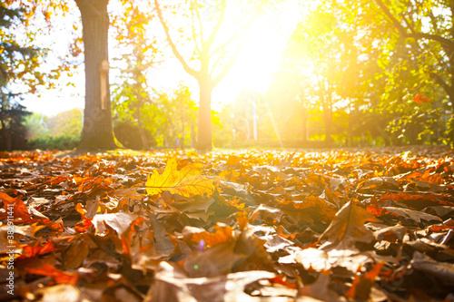Fototapeta Autumn oak leaves on the ground. obraz na płótnie